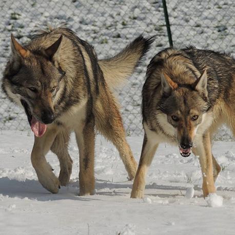 2 Cani lupo cecoslovacchi nella neve