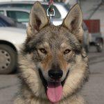 Testa cane lupo Cecoslovacco