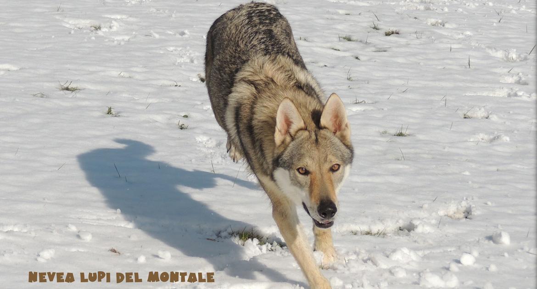 Allevamento cane lupo Cecoslovaco