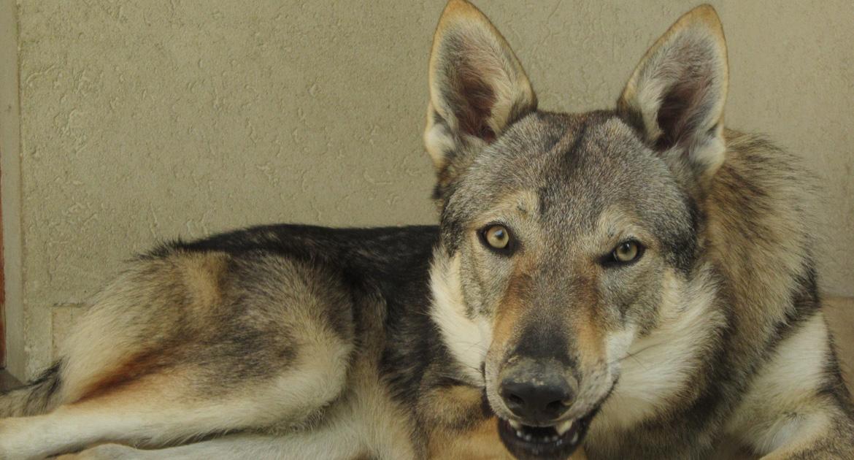 Primo piano di un Cane lupo Cecoslovacco