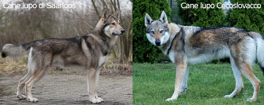 differenze tra cane lupo Cecoslovacco e cane lupo di Saarloos