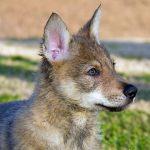 Testa cucciolo di cane lupo cecoslovacco