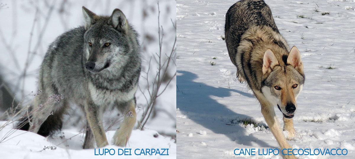 Lupo dei Carpazi e cane lupo Cecoslovacco