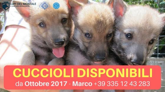 cuccioli lupo cecoslovacco disponibili