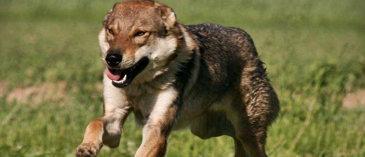 Indwal lupi del Montale